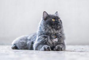 persan-gris