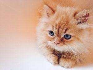 chaton-persan